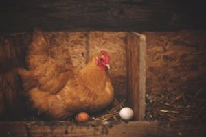 Chicken laying eggs in a barn