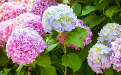 blue and pink hydrangea bush
