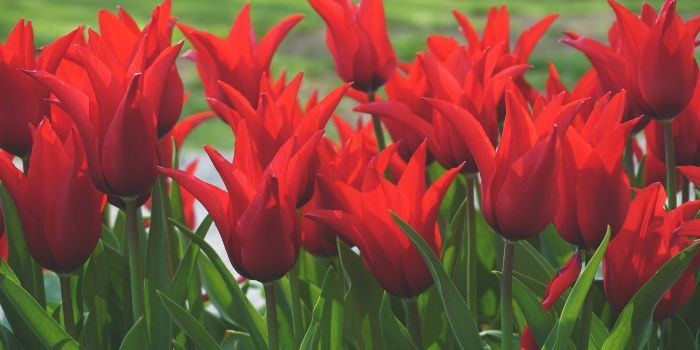 red flowers with long green stems.